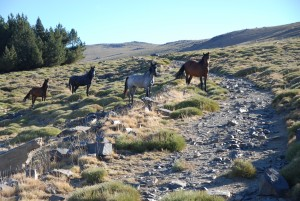 horses graze on the foothill of lhacen