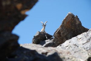 The Sierra Nevada de alpujarras is home to many wil;d goats